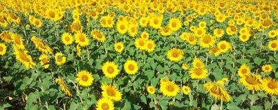 Campo de flor de Sun fotografía de archivo libre de regalías