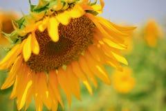 Campo de flor de Sun Imagens de Stock