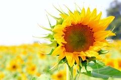 Campo de flor de Sun Fotografia de Stock Royalty Free