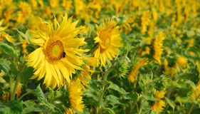 Campo de flor de Sun Imagens de Stock Royalty Free