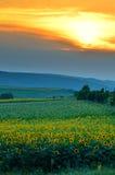 Campo de flor de Sun en la puesta del sol Imagen de archivo libre de regalías