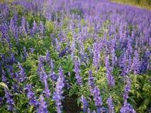 Campo de flor de Violet Angelonia Imagens de Stock