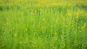Campo de flor del cáñamo de Sun Imágenes de archivo libres de regalías