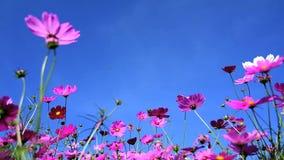 campo de flor del cosmos metrajes