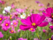 Campo de flor del cosmos 06 Fotos de archivo
