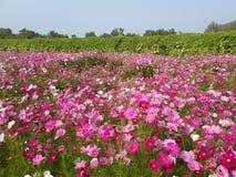 campo de flor del cosmos Foto de archivo libre de regalías