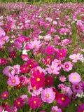 campo de flor del cosmos Imagenes de archivo