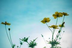 Campo de flor del cosmos, acortando con el fondo del cielo Fotografía de archivo libre de regalías