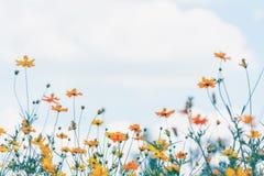 Campo de flor del cosmos con el fondo del cielo azul y de la nube foto de archivo