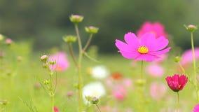 Campo de flor del cosmos en brisa metrajes