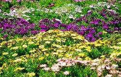 Campo de flor del ` de Daisy Bush Serenity del ` del osteospermum en color mezclado en una estación de primavera en un jardín bot fotografía de archivo libre de regalías