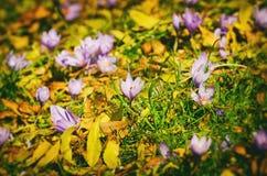 Campo de flor do açafrão Imagens de Stock Royalty Free