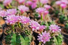 Campo de flor do cacto Fotografia de Stock
