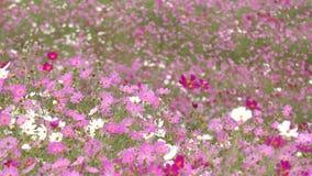 campo de flor do cosmos filme