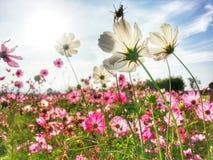 campo de flor do cosmos Imagens de Stock Royalty Free