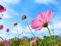 campo de flor do cosmos Fotos de Stock