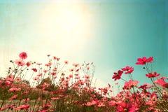 Campo de flor do cosmos com o céu azul da luz solar Fotografia de Stock Royalty Free