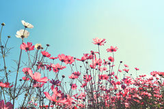 Campo de flor do cosmos com o céu azul da luz solar Fotografia de Stock