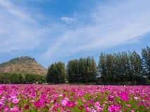 Campo de flor do cosmos, parque do cosmos Imagem de Stock