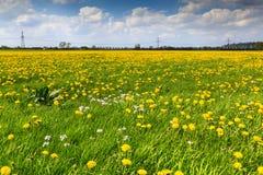 Campo de flor do dente-de-leão na flor Imagem de Stock