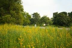 Campo de flor do juncea do Crotalaria Fotos de Stock Royalty Free