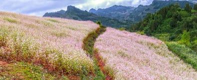 Campo de flor do trigo mourisco da vista geral no monte Imagens de Stock