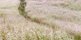 Campo de flor do trigo mourisco em montes Fotografia de Stock