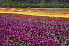 Campo de flor do Tulip Fotografia de Stock Royalty Free