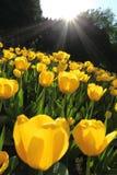 Campo de flor do Tulip imagem de stock royalty free