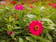 Campo de flor do Zinnia imagens de stock