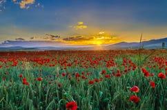 Campo de flor en la puesta del sol Imagenes de archivo