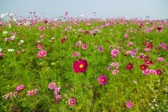 Campo de flor en Tailandia septentrional Imagen de archivo libre de regalías
