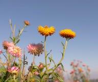 Campo de flor eterna Imagen de archivo libre de regalías