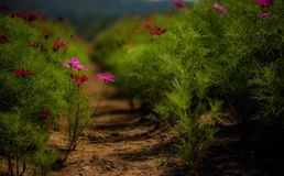 Campo de flor de flores de Gesang fotografia de stock