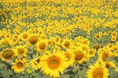 Campo de flor hermoso de Sun Foto de archivo