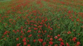Campo de flor hermoso increíble de la amapola metrajes