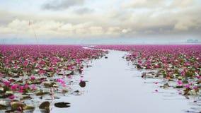 Campo de flor hermoso de loto en el mar rojo del loto foto de archivo