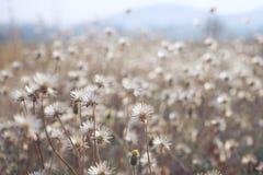 Campo de flor de la manzanilla bajo luz del sol caliente Fondo conmovedor foto de archivo libre de regalías