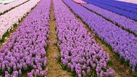 Campo de flor de la primavera en Países Bajos almacen de video
