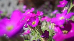 Campo de flor de la viola
