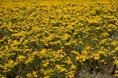 Campo de flor na costa oeste de África do Sul Fotos de Stock