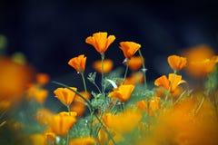 Campo de flor na manhã, Chiang Mai das papoilas da laranja selvagem, Thailan Imagem de Stock