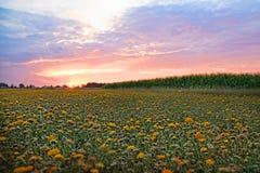 Campo de flor no por do sol Fotografia de Stock