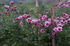 Campo de flor púrpura de la margarita en día de primavera Fotos de archivo libres de regalías