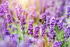 Campo de flor de polinización de la lavanda de la abeja Foto de archivo libre de regalías