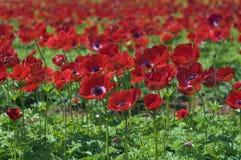Campo de flor rojo Foto de archivo libre de regalías