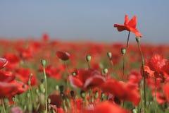 Campo de flor rojo de la amapola Imagen de archivo