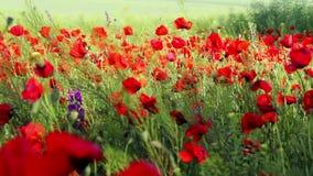 Campo de flor rojo de la amapola almacen de metraje de vídeo