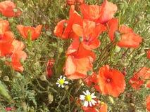 Campo de flor rojo de la amapola Fotografía de archivo