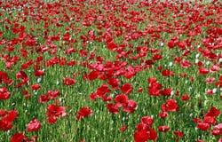 Campo de flor rojo hermoso de la amapola en verano Imagenes de archivo